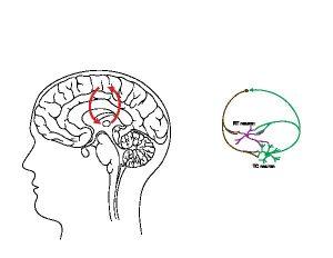 rosehip-neuron-brain