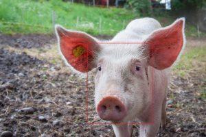 reconnaissance faciale cochons