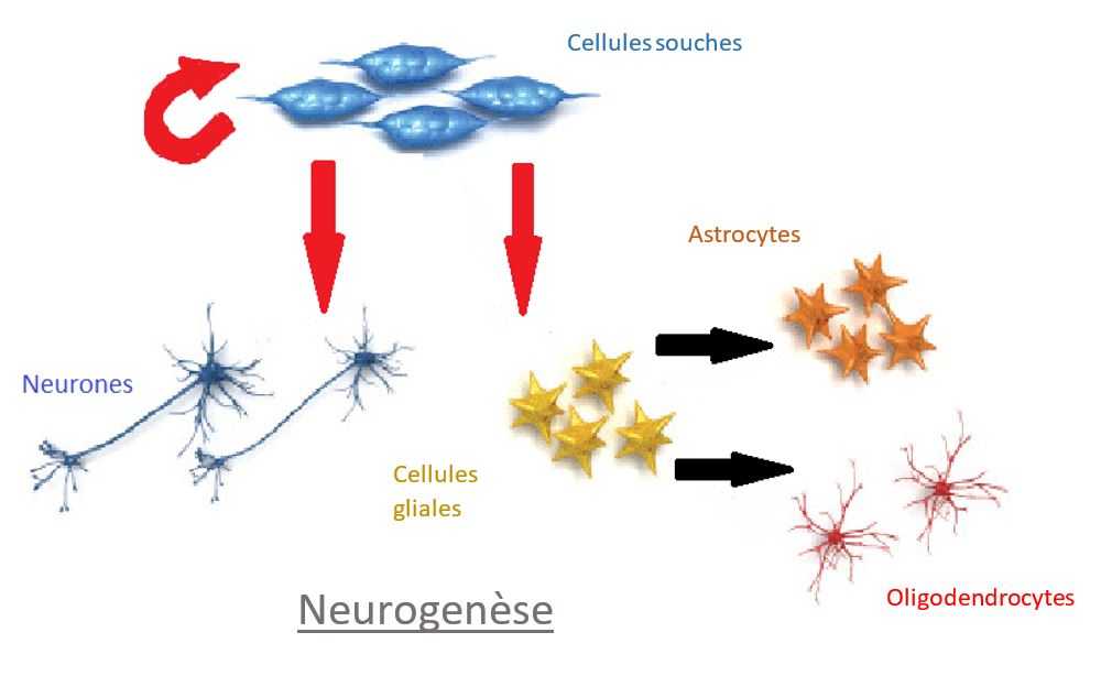 Neurogenèse